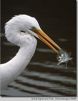 Great Egret and Fish, Chincoteague NWR
