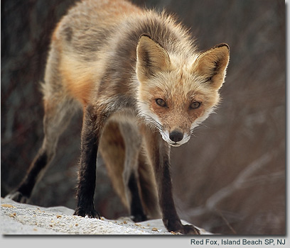 Red Fox, Island Beach SP, NJ