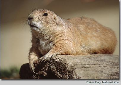 Prairie Dog, National Zoo